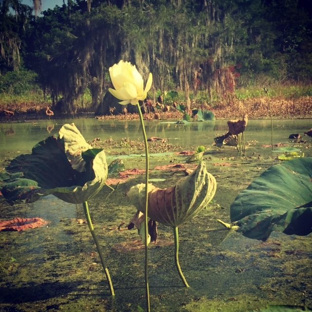 Lotus flower and lily pads in the swamp at Lake Martin (Lynn Oldshue)